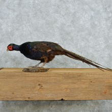 Standing Black Pheasant Life-Size Taxidermy Mount #13051 For Sale @ The Taxidermy Store