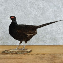Black Pheasant Life-Size Taxidermy Mount #13056 For Sale @ The Taxidermy Store