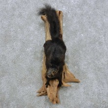 Black Squirrel Mount For Sale #14887 @ The Taxidermy Store