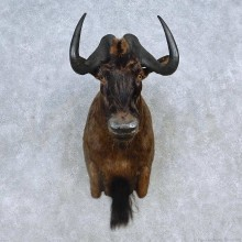 African Black Wildebeest Shoulder Mount For Sale #15138 @ The Taxidermy Store