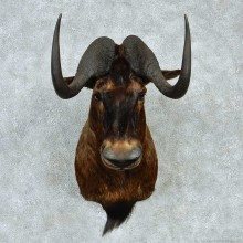 Black Wildebeest Shoulder Taxidermy Mount #13222 For Sale @ The Taxidermy Store