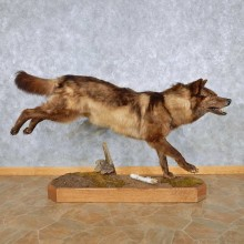 Running Black Wolf Life-Size Taxidermy Mount #13900 For Sale @ The Taxidermy Store