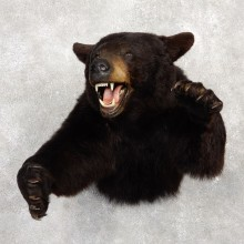 Black Bear 1/2-Life-Size Mount For Sale #18775 @ The Taxidermy Store