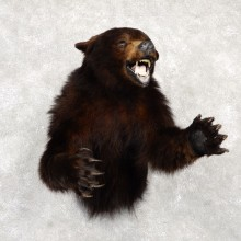Black Bear 1/2-Life-Size Mount For Sale #18778 @ The Taxidermy Store