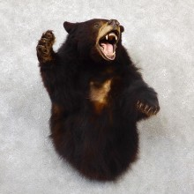 Black Bear 1/2-Life-Size Mount For Sale #19283 @ The Taxidermy Store