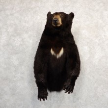 Black Bear 1/2-Life-Size Mount For Sale #20788 @ The Taxidermy Store