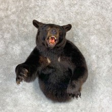 Black Bear 1/2-Life-Size Taxidermy Mount For Sale