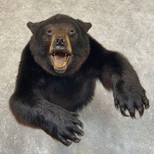 Black Bear 1/2-Life-Size Mount For Sale #23735 @ The Taxidermy Store