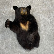 Black Bear 1/2-Life-Size Mount For Sale #24152 @ The Taxidermy Store