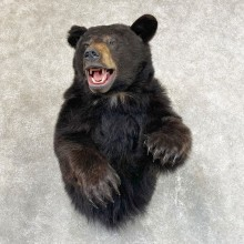 Black Bear 1/2-Life-Size Mount For Sale #24525 @ The Taxidermy Store