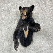 Black Bear 1/2-Life-Size Mount For Sale #25410 @ The Taxidermy Store