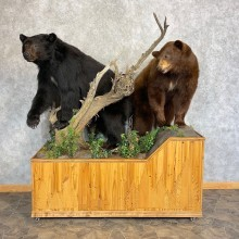 Black Bear And Cinnamon Black Bear Life-Size Mount For Sale #21386 @ The Taxidermy Store