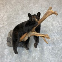 Chocolate Black Bear Cub Mount For Sale #22424 @ The Taxidermy Store