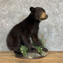 Black Bear Cub Taxidermy Mount #22454 For Sale @ The Taxidermy Store