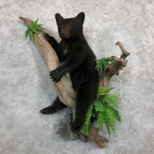 Black Bear Cub Taxidermy Mount For Sale #19499 For Sale @ The Taxidermy Store