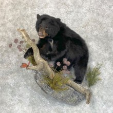 Black Bear Cub Taxidermy Mount For Sale #23864 @ The Taxidermy Store