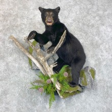 Black Bear Cub Taxidermy Mount For Sale #23866 @ The Taxidermy Store