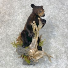 Black Bear Cub Taxidermy Mount For Sale #23987 @ The Taxidermy Store