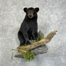 Black Bear Cub Taxidermy Mount For Sale #24632 @ The Taxidermy Store