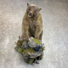 Glacier Bear Full-Size Taxidermy Mount For Sale
