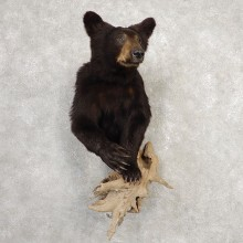 Black Bear Half-Life-Size Taxidermy Mount #20367 For Sale @ The Taxidermy Store