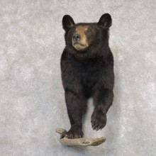 Black Bear Half-Life-Size Taxidermy Mount #22348 For Sale @ The Taxidermy Store