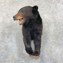Black Bear 1/2 Life-Size Taxidermy Mount For Sale