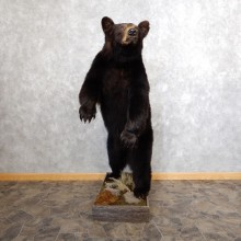 Black Bear Life-Size Mount For Sale #18600 @ The Taxidermy Store