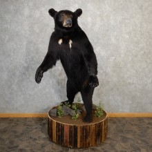 Black Bear Life-Size Mount For Sale #19048 @ The Taxidermy Store