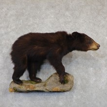 Black Bear Life-Size Mount For Sale #19344 @ The Taxidermy Store