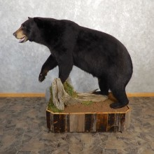 Black Bear Life-Size Mount For Sale #19781 @ The Taxidermy Store