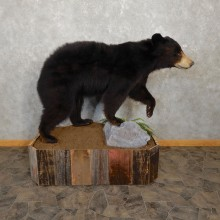 Black Bear Life-Size Mount For Sale #19916 @ The Taxidermy Store