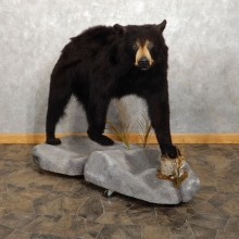 Black Bear Life-Size Mount For Sale #20407 @ The Taxidermy Store