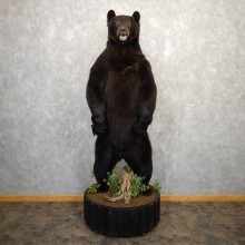Black Bear Life-Size Mount For Sale #20761 @ The Taxidermy Store