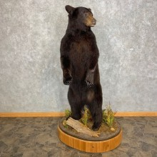 Black Bear Life-Size Mount For Sale #21736 @ The Taxidermy Store