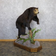 Black Bear Life-Size Mount For Sale #22333 @ The Taxidermy Store