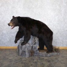 Black Bear Life-Size Mount For Sale #22359 @ The Taxidermy Store