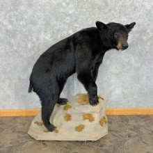 Black Bear Life-Size Mount For Sale #23154 @ The Taxidermy Store