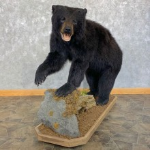 Black Bear Life-Size Mount For Sale #23186 @ The Taxidermy Store