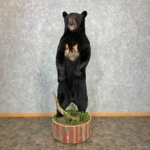 Black Bear Life-Size Mount For Sale #23300 @ The Taxidermy Store