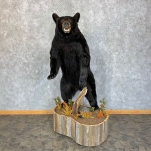 Black Bear Life-Size Mount For Sale #23439 @ The Taxidermy Store