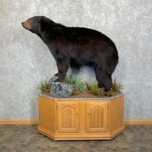 Black Bear Life-Size Mount For Sale #23702 @ The Taxidermy Store