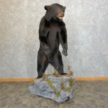 Black Bear Life-Size Mount For Sale #24200 @ The Taxidermy Store