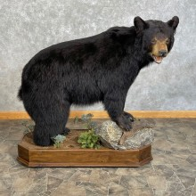 Black Bear Life-Size Mount For Sale #24753 @ The Taxidermy Store