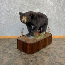 Black Bear Life-Size Mount For Sale #20791 @ The Taxidermy Store