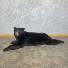 Black Bear Life-Size Taxidermy Mount For Sale #22873 @ The Taxidermy Store