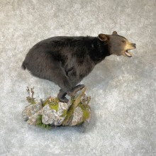 Black Bear Life-Size Mount For Sale #24383 @ The Taxidermy Store