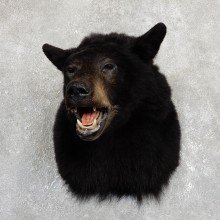 Black Bear Shoulder Taxidermy Head Mount For Sale #19629 @ The Taxidermy Store