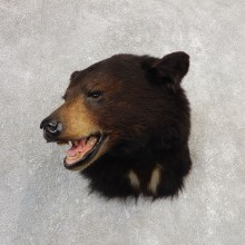 Black Bear Shoulder Mount For Sale #21151 @ The Taxidermy Store