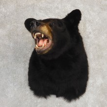 Black Bear Shoulder Mount For Sale #21188 @ The Taxidermy Store